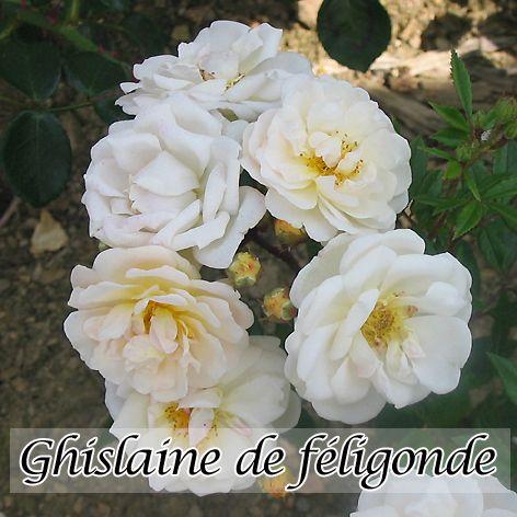 rosa ghislaine de f ligonde la rosa ghislaine de f ligonde la roseraie godefroid. Black Bedroom Furniture Sets. Home Design Ideas